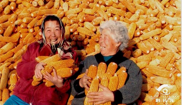 玉米丰收了